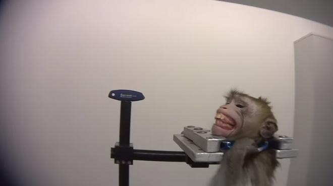 Βασανιστήρια σε μαϊμουδάκι