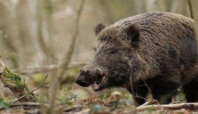 Γαρδίκι: Κυνηγοί πήγαν να σώσουν αγριογούρουνο κι αυτό τους δάγκωσε