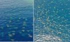Χιλιάδες χελώνες στον Μεγάλο Κοραλλιογενή Ύφαλο