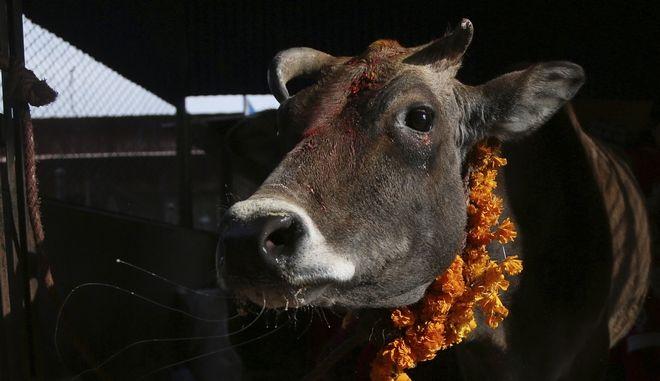 Αγελάδα (ΦΩΤΟ Αρχείου)