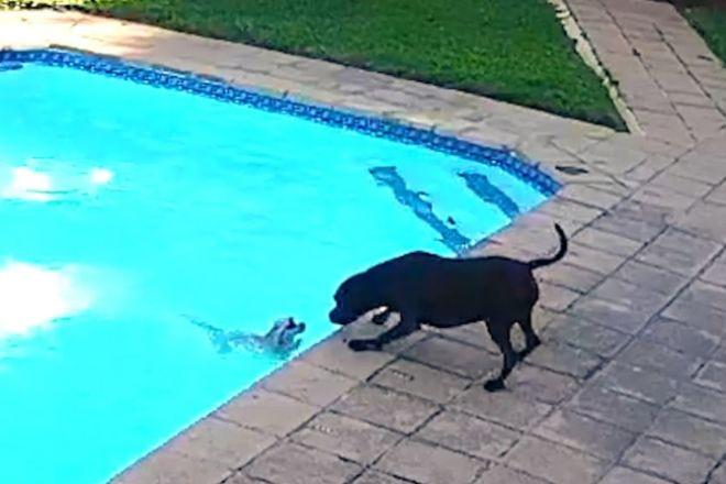 Ηρωικός σκύλος σώζει κουτάβι από πνιγμό