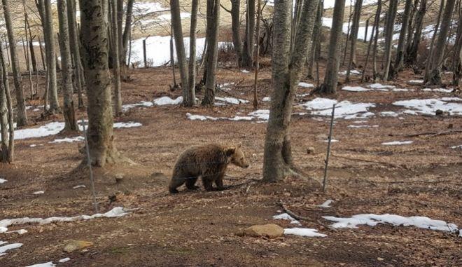 Ξύπνησαν οι αρκούδες στο Καταφύγιο και μας φέρνουν την άνοιξη. Έξω από τις φωλιές τους βρίσκονται πλέον οι περισσότερες αρκούδες στο Καταφύγιο του ΑΡΚΤΟΥΡΟΥ στο Νυμφαίο. Οι ανοιξιάτικες θερμοκρασίες των τελευταίων ημερών σήμαναν το εγερτήριο και για τις αρκούδες που ακολουθώντας τον φυσιολογικό κύκλο τους ξύπνησαν από το χειμέριο λήθαργο. Όπως πάντα, οι νεαρότερες αρκούδες ήταν εκείνες που ξύπνησαν πρώτες. Οι τρεις αρκούδες που ήρθαν από την Αλβανία η Sandy, η Mira και ο Duke μαζί με τον Γιώργο ξύπνησαν από νωρίς και άρχισαν τα παιχνίδια. Μάλιστα και φέτος προτίμησαν να κοιμηθούν σε φυσικές φωλιές που είχαν δημιουργηθεί στο παρελθόν από άλλες αρκούδες. Εξίσου δραστήριοι είναι και ο Κυριάκος με τον Μανώλη. Τρίτη 13/3/2018. (EUROKINISSI/ΑΡΚΤΟΥΡΟΣ)