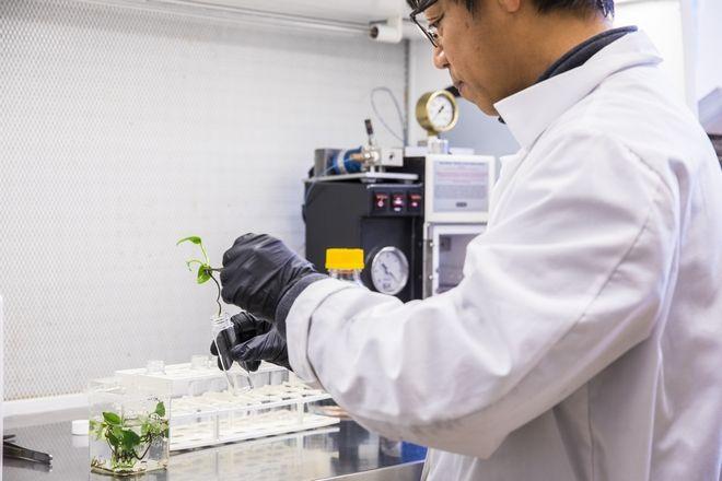 Ο επιστήμονας Long Zhang δοκιμάζει τον κισσό σε γυάλινο σωλήνα.
