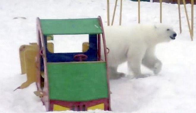 """Νησί κηρύχθηκε σε κατάσταση έκτακτης ανάγκης λόγω """"εισβολής"""" πολικών αρκούδων"""