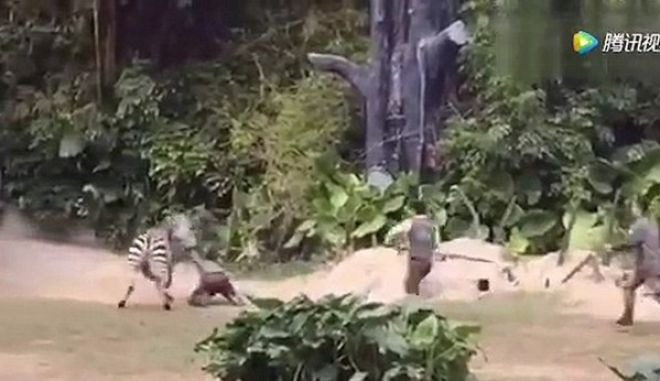 Η εκδίκηση της φύσης: Ζέβρα επιτίθεται σε υπάλληλο ζωολογικού κήπου