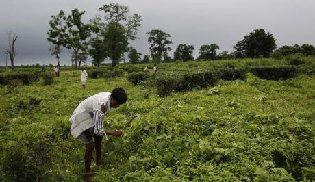 Χιλιάδες εργάτες μαζεύουν τσάι στην Ινδία