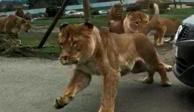 Τρομακτικό βίντεο: Παγιδευμένοι για 50' στο κλουβί με τα λιοντάρια