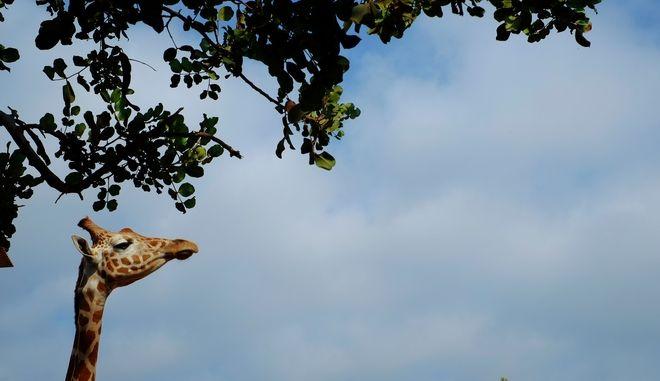 Καμηλοπάρδαλη