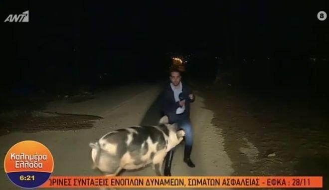 Βίντεο έπος: Γουρούνι κυνηγά δημοσιογράφο του ΑΝΤ1 στην Κινέτα