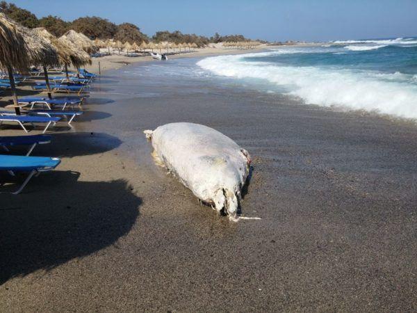 Φάλαινα ξεβράστηκε σε παραλία της Ιεράπετρας