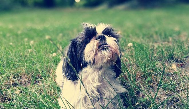 Σκύλος ράτσας shih tzu
