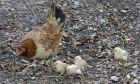 Κοτόπουλα σε αγρόκτημα