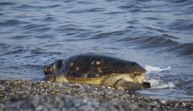 Περισσότερες από 700 οι νεκρές θαλάσσιες χελώνες το 2020 στη χώρα μας