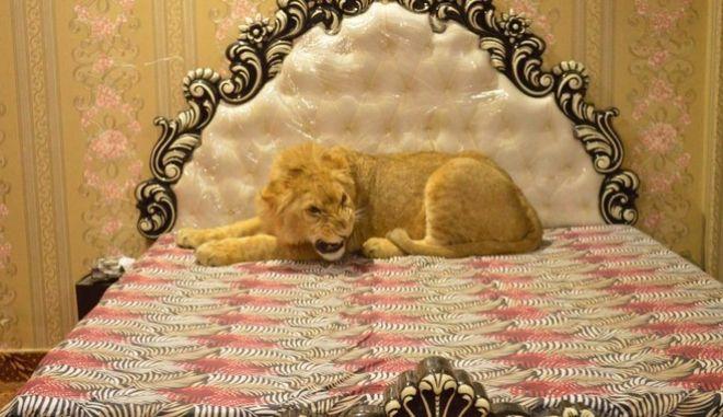 Και όμως, έχει για κατοικίδιο ένα λιοντάρι
