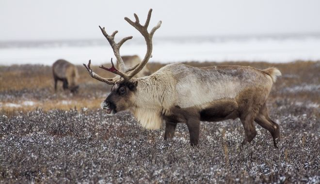 In this photo taken on Tuesday, Oct. 25, 2016, reindeer pasture in the Yamal region, Russia. The indigenous reindeer herders in Russias northern Yamal Region, a remote section of Siberia where winter temperatures can sink below minus 50 degrees Celsius, are facing a man-made threat as officials push ahead with an unprecedented culling that calls for at least one in seven of the Yamals reindeer to be slaughtered. Regional government spokeswoman Olesya Litovskikh denied the oil and gas industry lobbied for increased culling. Energy companies spend billions of rubles developing far-flung areas and supporting Nenets culture, Litovskikh said. (AP Photo/Igor Novikov)
