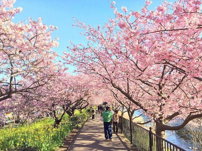 Ονειρικές εικόνες στην Ιαπωνία: Οι θρυλικές κερασιές άνθισαν νωρίτερα