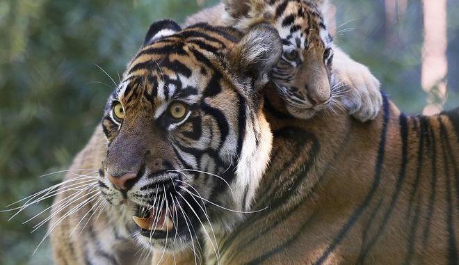 Τίγρης στον ζωολογικό κήπο της Οκλαχόμα (ΗΠΑ) που υιοθέτησε την μικρή Λόλα, η οποία γεννήθηκε σε αιχμαλωσία, αλλά την εγκατέλειψε η βιολογική της... μητέρα