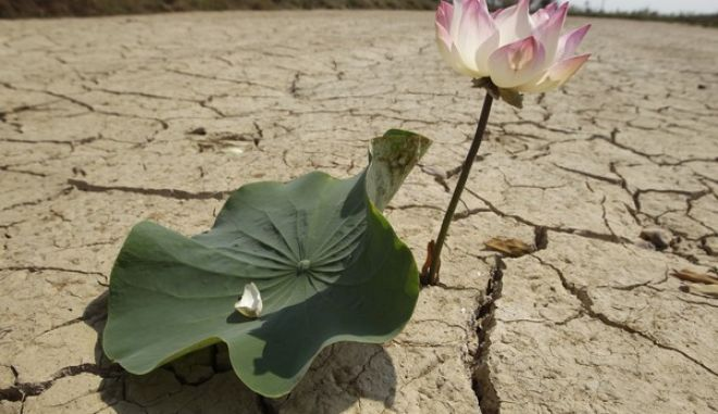 A lotus flower grows in a dry cracked earth of an empty pond during the dry season outside of Phnom Penh, Cambodia, Friday, March 10, 2017. (AP Photo/Heng Sinith)