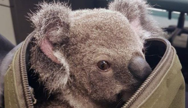 Κοάλα στην Αυστραλία