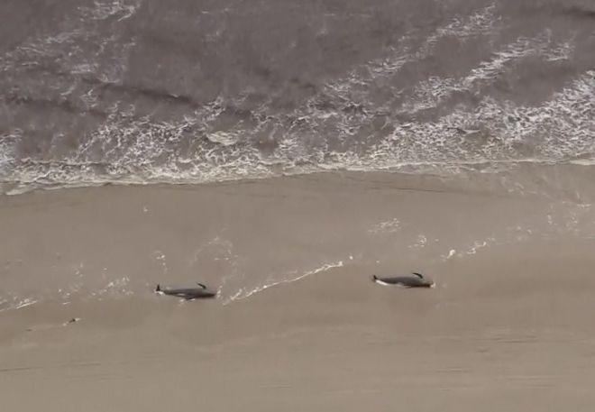 Νεκρές δεκάδες φάλαινες που εξώκειλαν στη Νέα Ζηλανδία