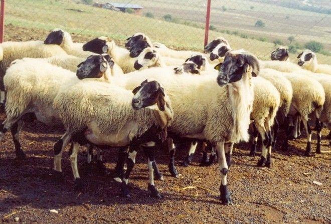 Τα χιώτικα πρόβατα φέρνουν γάλα