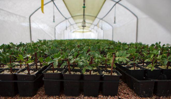 Αναφύτευση μαστιχόδενδρων στη Χίο  με τη στήριξη της Alpha Bank