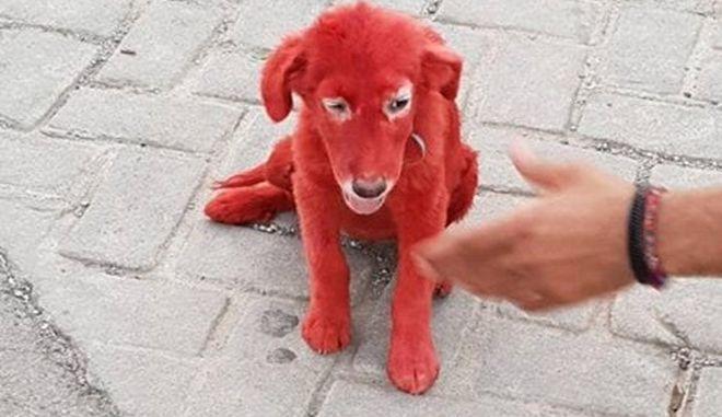 Χαλκίδα: Ασυνείδητοι έβαψαν κουτάβι με κόκκινη βαφή μαλλιών