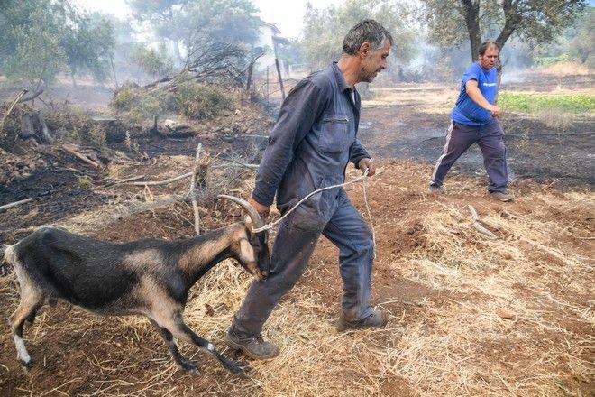Για 2η ημέρα οι πυροσβεστικές δυνάμεις συνεχίζουν την μάχη για την κατάσβεση της μεγάλης πυρκαγιάς στην Εύβοια.Αναζωπύρωση κοντά στο χωρίο Μακρυμάλλη, προσπαθούν να σώσουν και τα ζώα των κατοίκων.