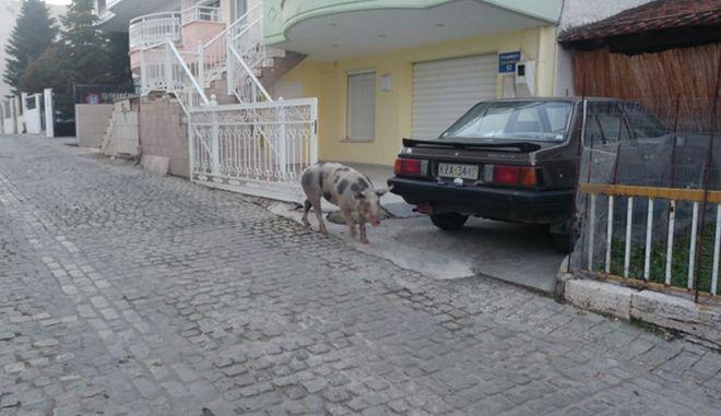 """Κοζάνη: Γουρούνι το έσκασε από κτήμα κι """"έκοβε βόλτες"""" στους δρόμους"""