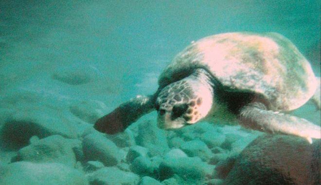 Χελώνα Caretta - Caretta στη Ζάκυνθο