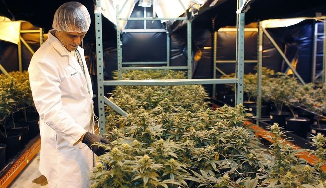 In this  July 24, 2017 photo, Juan Manuel Rodriguez, an investor at Natural Ventures inspects marijuana plants in a bloom room in Caguas, Puerto Rico. Investors in Puerto Rico have spent more than $3 million to obtain licenses issued by the islands health department to cultivate, manufacture and sell medical marijuana. (AP Photo/Ricardo Arduengo)
