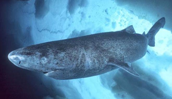 Εντοπίστηκε καρχαρίας της Γροιλανδίας ηλικίας 400 ετών