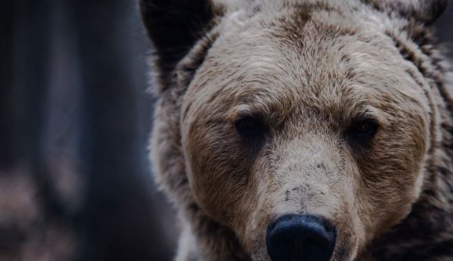 Η κορονο-αρκούδα