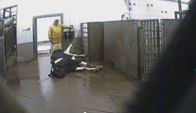 Σοκ στην Πολωνία: Σφάζουν άρρωστες αγελάδες και πουλάνε το κρέας τους