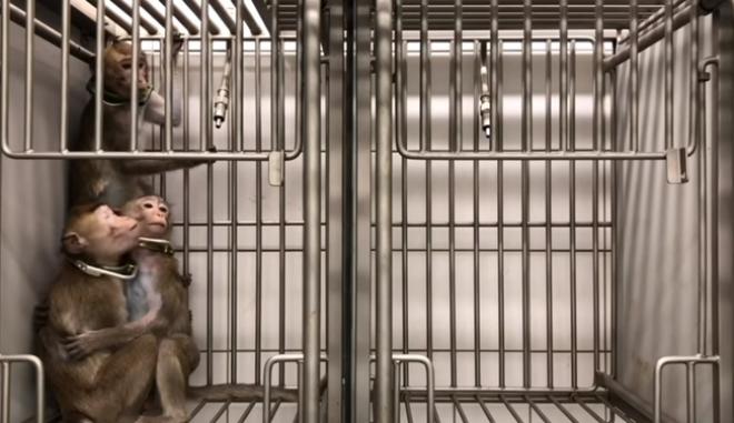 Βασανιστήρια σε μαϊμουδάκια