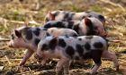 Οι σκοπιανοί παραγωγοί χοιρινού κρέατος δεν μπορούν να καλύψουν τις ανάγκες της βιομηχανίας κρέατος με χοιρινό κρέας