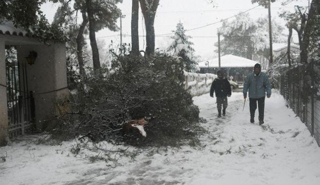 """Πεσμένο δέντρο στο Διόνυσο, λόγω της κακοκαιρίας """"Μήδεια"""""""