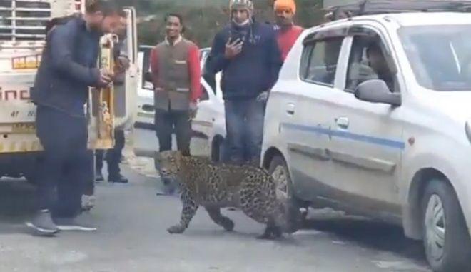 Λεοπάρδαλη παίζει με ανθρώπους στην Ινδία