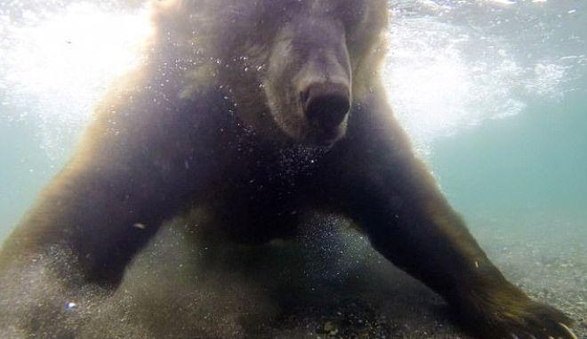 Αρκούδα 'ψαρεύει' σολωμό με τα... πόδια της