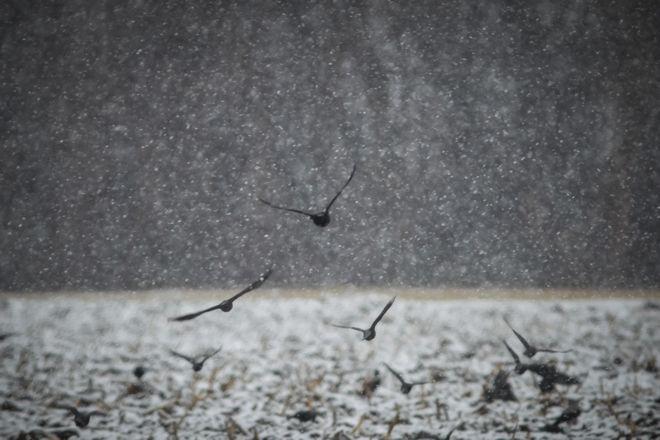 Κοράκια ψάχνουν για τροφή σε χωράφι κατά την διάρκεια της χιονόπτωσης στα Μεγάλα Καλύβια Τρικάλων.