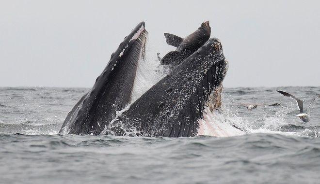 """Η φωτογραφία της ημέρας: Θαλάσσιο λιοντάρι """"γλιστρά"""" στο στόμα φάλαινας"""