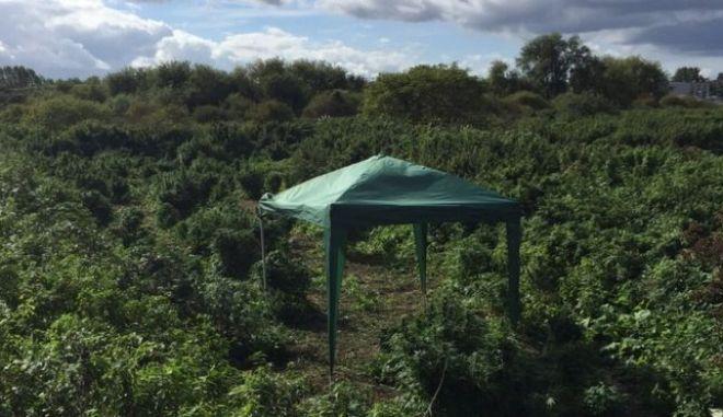 Εντοπίστηκε δάσος με δενδρύλλια κάνναβης σε κοσμοπολίτικο προάστιο του Λονδίνου