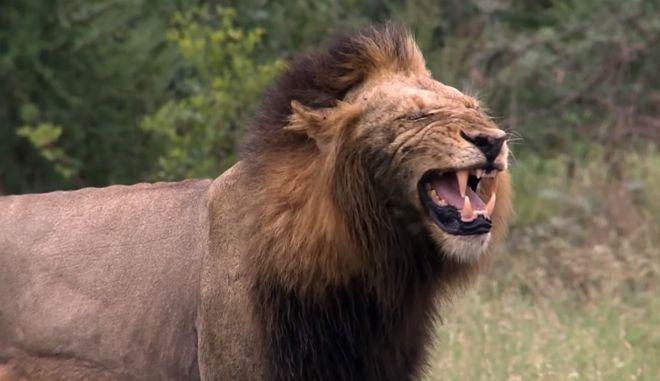 Λουτρό αίματος από αγέλη λιονταριών: Έφαγαν λαθροκυνηγούς