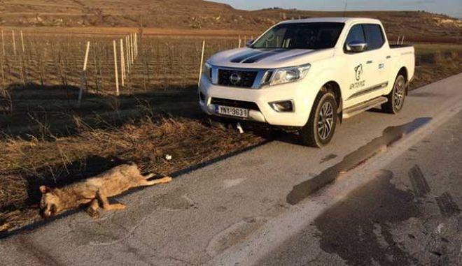 Φλώρινα: Λύκος σκοτώθηκε σε τροχαίο