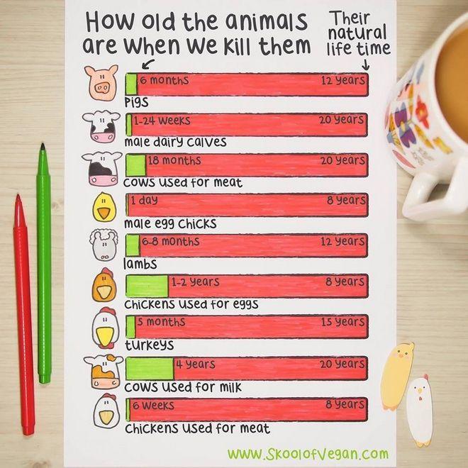 Σε τι ηλικία σκοτώνουν τα ζώα που τρώμε (και πόσο θα ζούσαν φυσιολογικά)