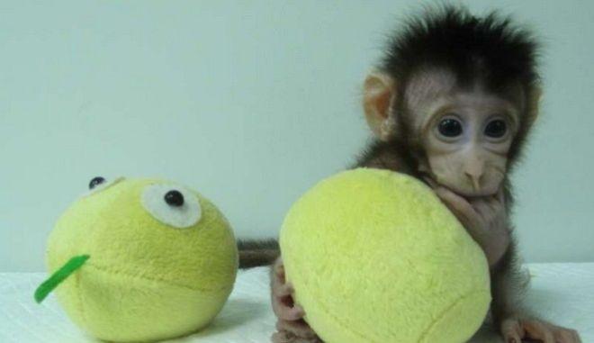 Οι πρώτες κλωνοποιημένες μαϊμούδες ανοίγουν το δρόμο για την κλωνοποίηση ανθρώπου