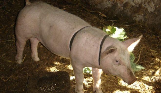 Κληρώνουν γουρούνι για να βγάλουν φωτοτυπίες