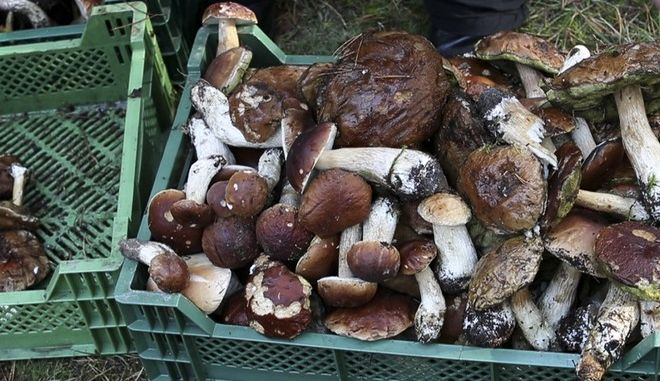 In this grab taken from video, people gather mushrooms at the foraging festival, some 60 kilometers (nearly 40 miles) south of the capital of Vilnius, Lithuania, Saturday, Sept. 23, 2017. Thousands of Lithuanians have been running around with baskets and buckets in a pine forest in southeastern Lithuania for the national championship of wild mushroom picking. (Mindaugas Kulbis via AP)