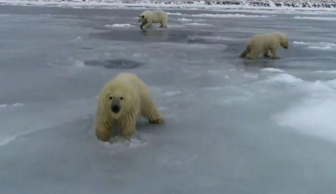 Κλιματική αλλαγή: Πολικές αρκούδες προσπαθούν να σταθούν στον πάγο που λιώνει