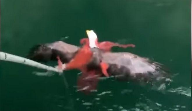 Βίντεο: Μάχη αετού με χταπόδι on camera
